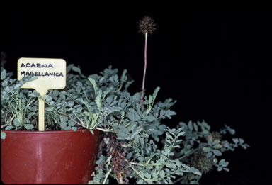 APII jpeg image of Acaena magellanica  © contact APII