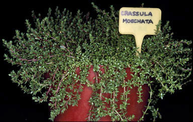 APII jpeg image of Crassula moschata  © contact APII