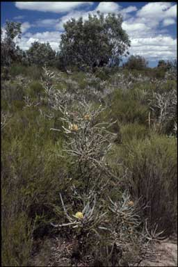 APII jpeg image of Banksia elegans  © contact APII