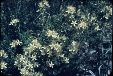 APII jpeg image of Calytrix angulata  © contact APII
