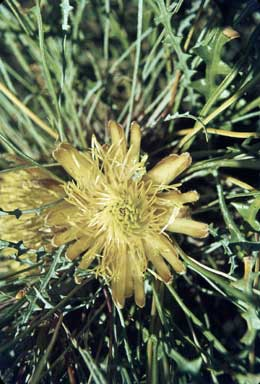 APII jpeg image of Dryandra ferruginea  © contact APII