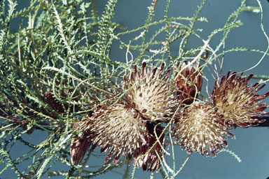 APII jpeg image of Banksia tenuis  © contact APII