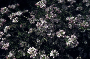 APII jpeg image of Eriostemon nodiflorus  © contact APII