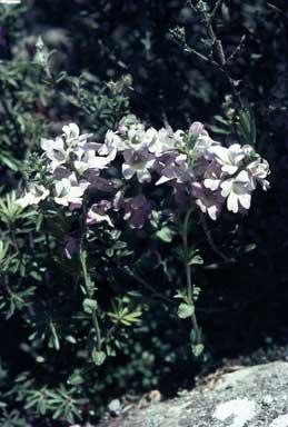 APII jpeg image of Euphrasia diemenica  © contact APII