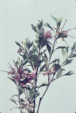 APII jpeg image of Grevillea pectinata  © contact APII