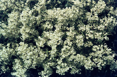 APII jpeg image of Hakea auriculata  © contact APII