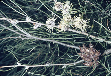 APII jpeg image of Hakea scoparia  © contact APII