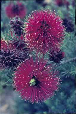 APII jpeg image of Kunzea baxteri  © contact APII