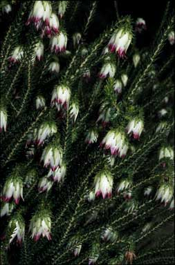 APII jpeg image of Darwinia meeboldii  © contact APII