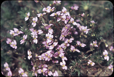 APII jpeg image of Stylidium bulbiferum  © contact APII