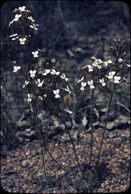 APII jpeg image of Stylidium ciliatum  © contact APII
