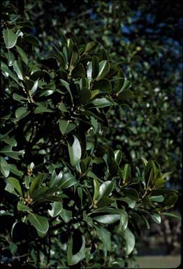 APII jpeg image of Ficus rubiginosa  © contact APII
