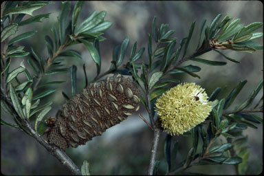 APII jpeg image of Banksia canei  © contact APII