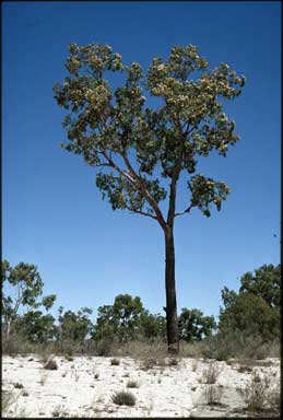 APII jpeg image of Corymbia plena  © contact APII