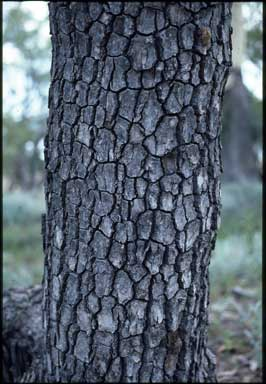 APII jpeg image of Corymbia tessellaris  © contact APII