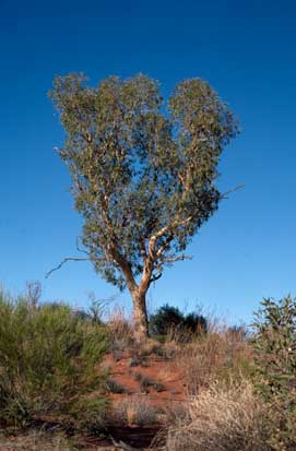 APII jpeg image of Corymbia chippendalei  © contact APII