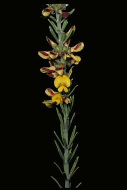 APII jpeg image of Aotus mollis  © contact APII