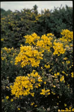 APII jpeg image of Ulex europaeus  © contact APII