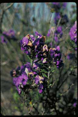 APII jpeg image of Hovea stricta  © contact APII