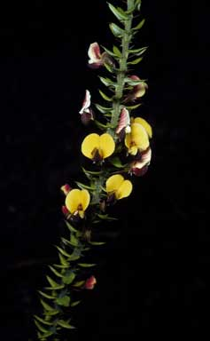 APII jpeg image of Bossiaea cinerea  © contact APII