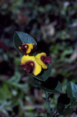 APII jpeg image of Bossiaea ornata  © contact APII
