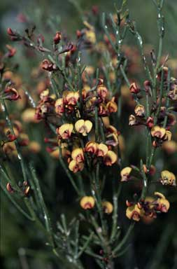 APII jpeg image of Daviesia rubiginosa  © contact APII