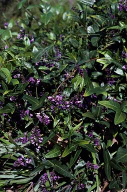 APII jpeg image of Hardenbergia comptoniana  © contact APII