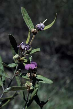 APII jpeg image of Hovea planifolia  © contact APII