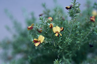 APII jpeg image of Pultenaea setulosa  © contact APII
