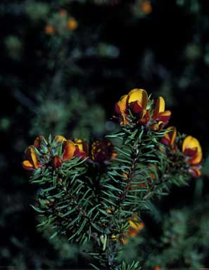 APII jpeg image of Pultenaea glabra  © contact APII