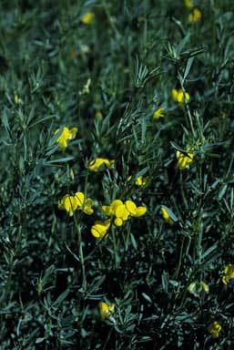 APII jpeg image of Lotus corniculatus  © contact APII