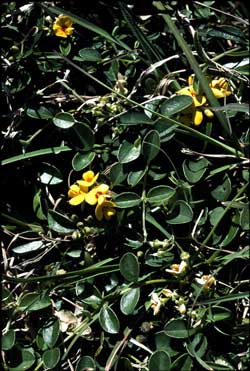 APII jpeg image of Podolobium scandens  © contact APII