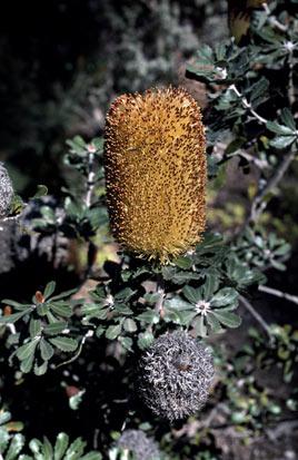 APII jpeg image of Banksia epica  © contact APII