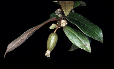 APII jpeg image of Elaeagnus triflora  © contact APII