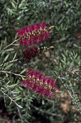 APII jpeg image of Callistemon pungens  © contact APII