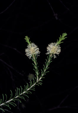 APII jpeg image of Melaleuca parvistaminea  © contact APII