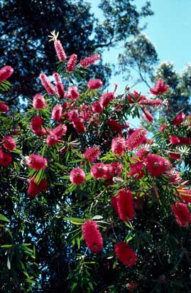 APII jpeg image of Callistemon 'Harkness'  © contact APII