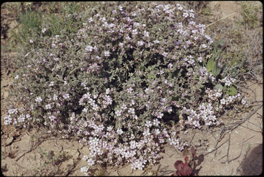 APII jpeg image of Frankenia serpyllifolia  © contact APII