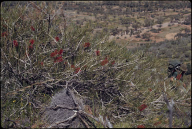 APII jpeg image of Callistemon teretifolius  © contact APII