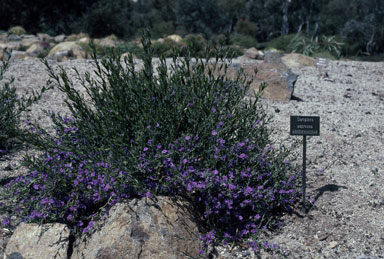 APII jpeg image of Dampiera adpressa  © contact APII