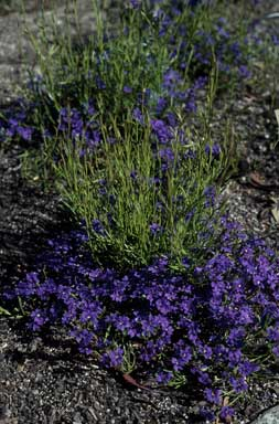 APII jpeg image of Dampiera linearis 'Violet Princess'  © contact APII