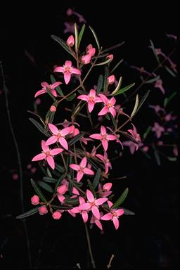 APII jpeg image of Boronia ledifolia  © contact APII
