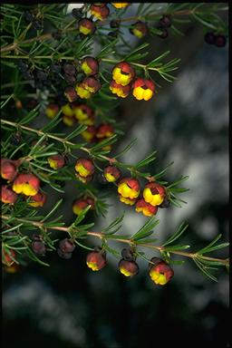 APII jpeg image of Boronia megastigma  © contact APII