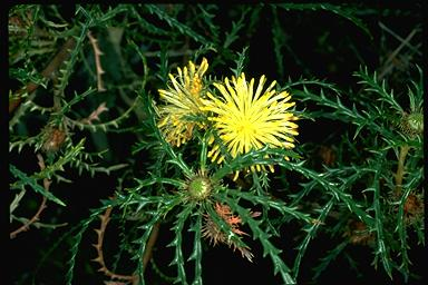 APII jpeg image of Dryandra polycephala  © contact APII