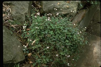 APII jpeg image of Pseuderanthemum variabile  © contact APII
