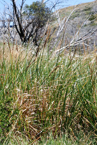 APII jpeg image of Carex appressa  © contact APII