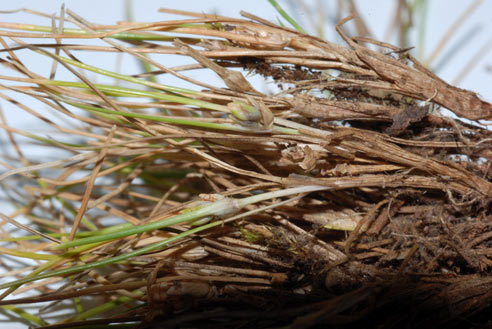APII jpeg image of Isolepis montivaga  © contact APII