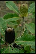 Banksia robur - click for larger image