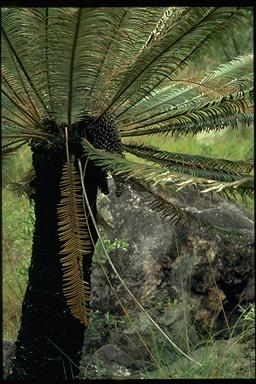 APII jpeg image of Cycas calcicola  © contact APII
