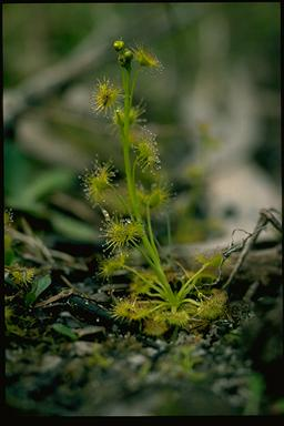 APII jpeg image of Drosera peltata  © contact APII